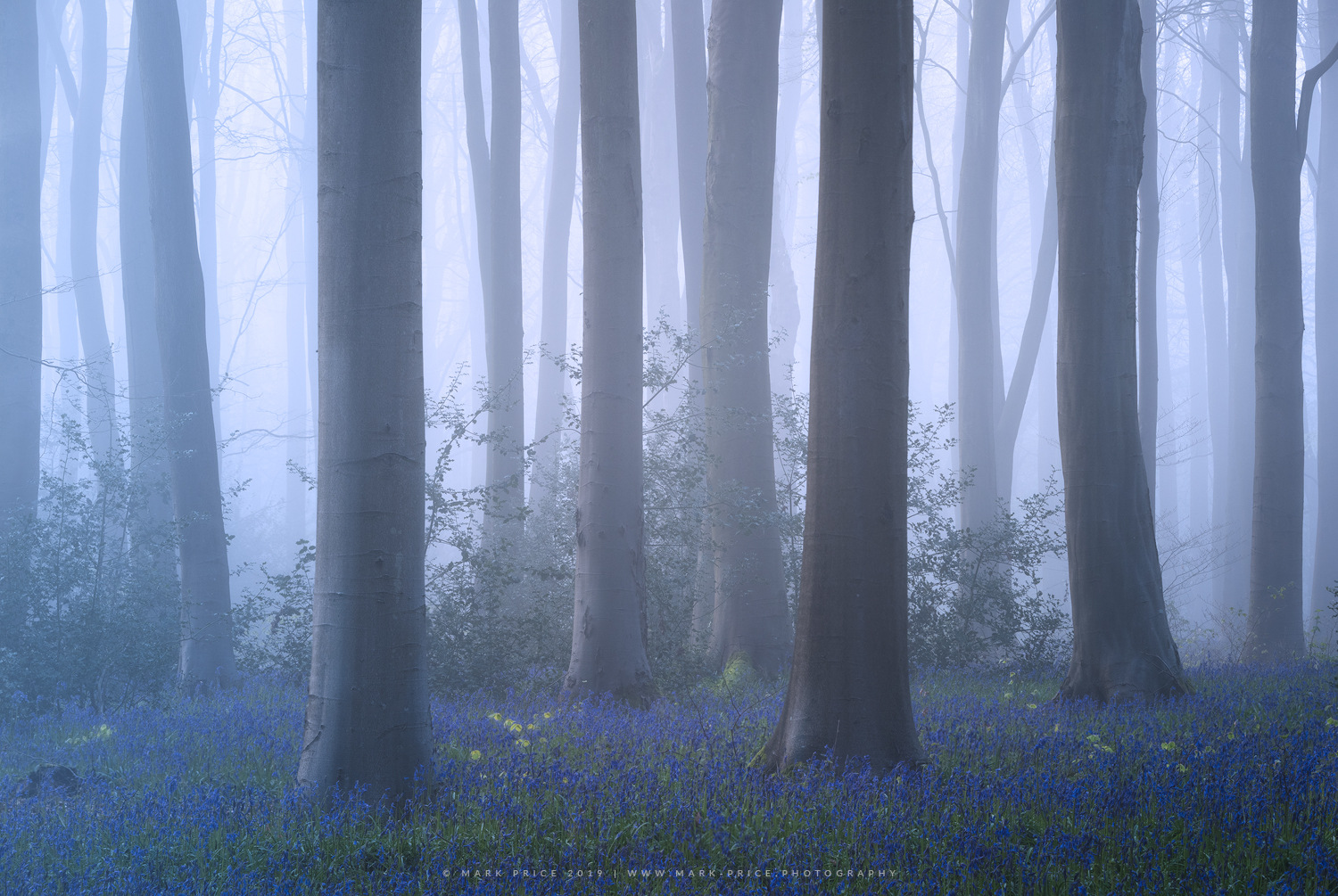 A bluebell wood in thick mist during spring 2019