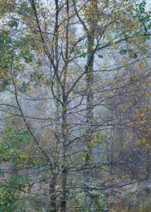 Silver Birches with a wonderful array of colours during autumn
