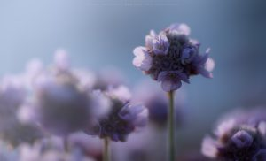 Sea Thrift flowers in late afternoon light, Cornwall, England