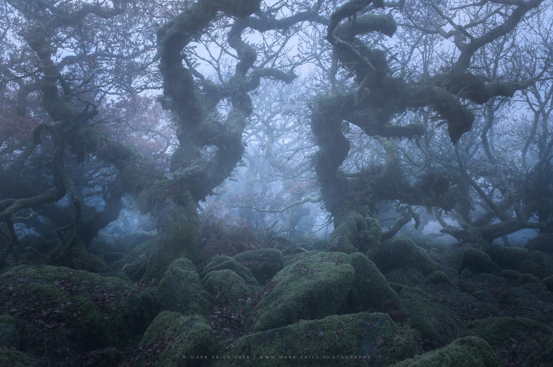 Otherworldly Dwarf Oak trees in Devon wood