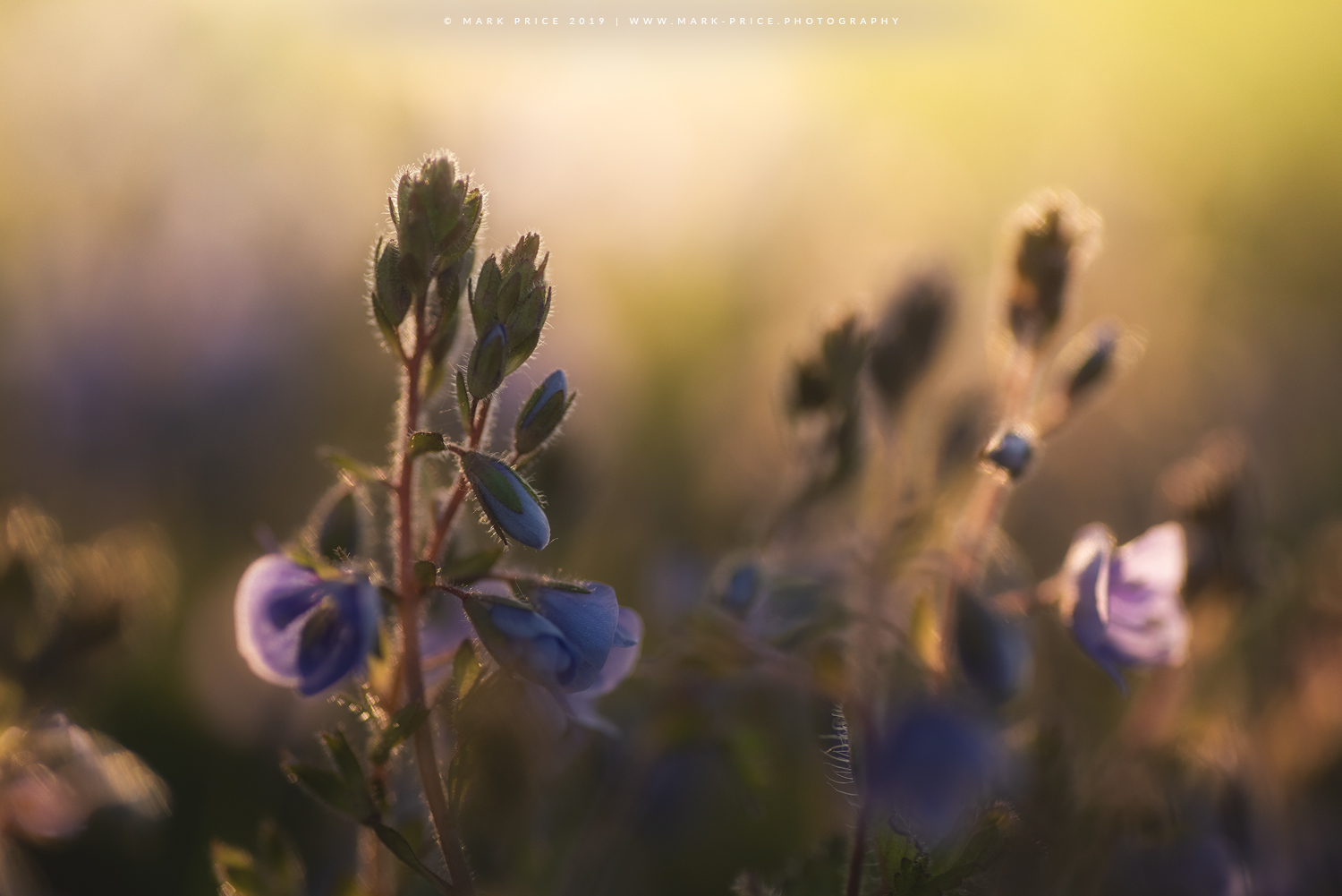 Golden morning light hits wild flowers in Sussex