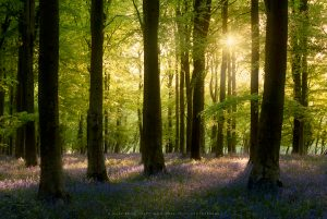A classical bluebell scene from a Sussex wood