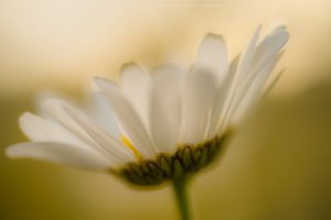 Detail image of a Wild Daisy in lovely summer lighting