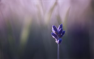 A Singular lavender bud caught by early morning light
