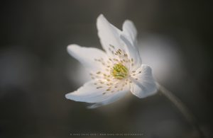 A single wildflower in early morning soft light