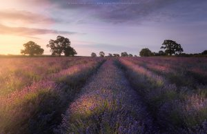 A beautiful lavender field at Somerset Lavender during sunrise