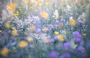 A riot of Alpine flowers in a Dolomites Meadow