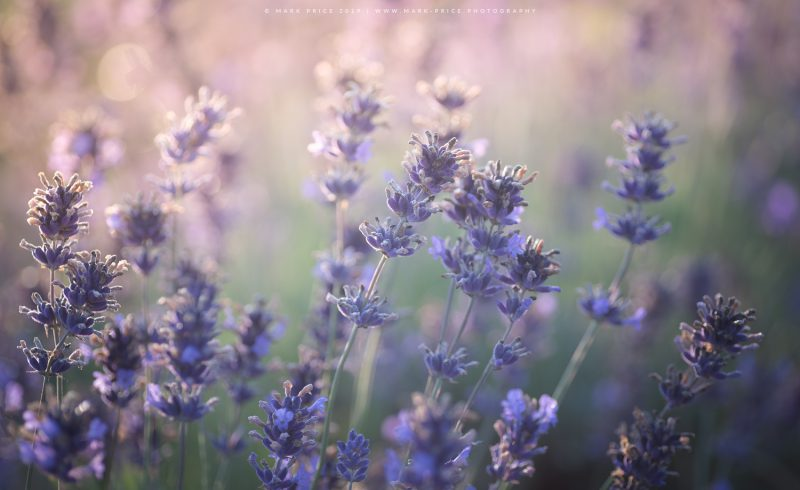 Close-up of the beautiful lavender plants in a Somerset field