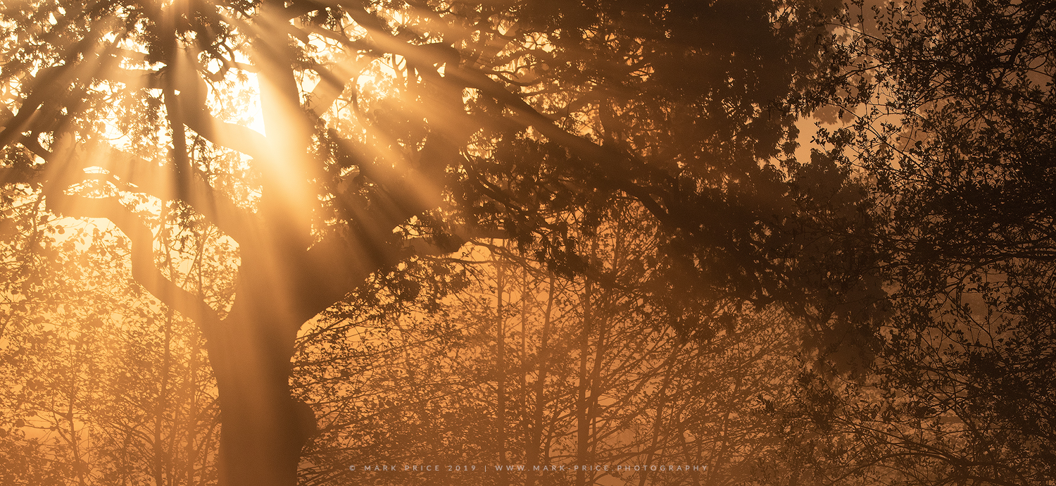 A golden spring sunrise erupts through the fog in Sussex