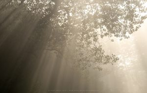 Light pours into a foggy tree canopy in Sussex