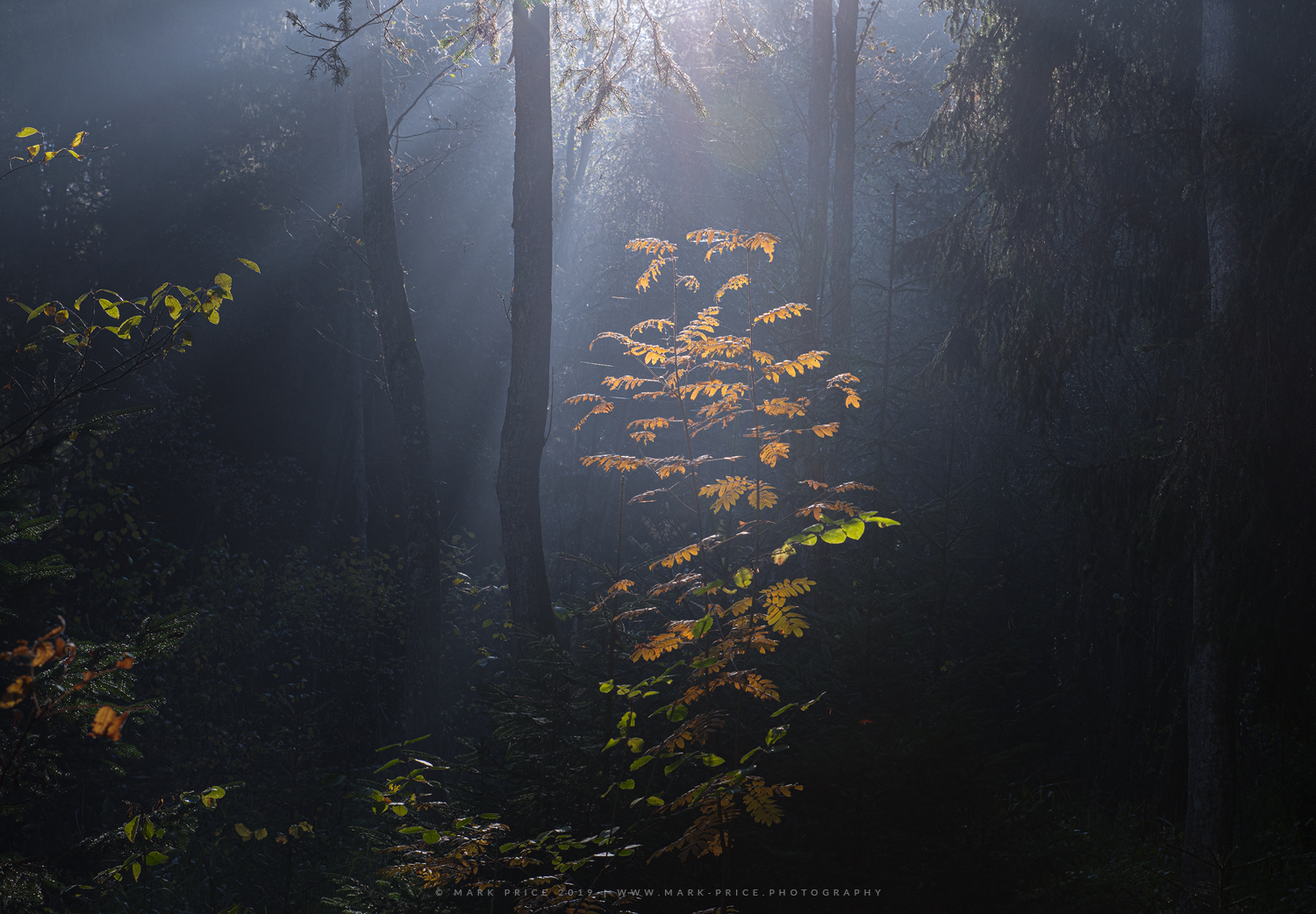 Autumn begins to erupt in a foggy forest in the Northern Dolomites