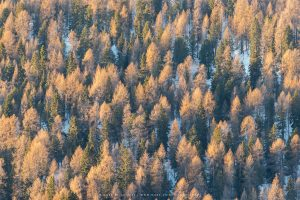 First light catches a vast area of Alpine Larches during winter, Italy