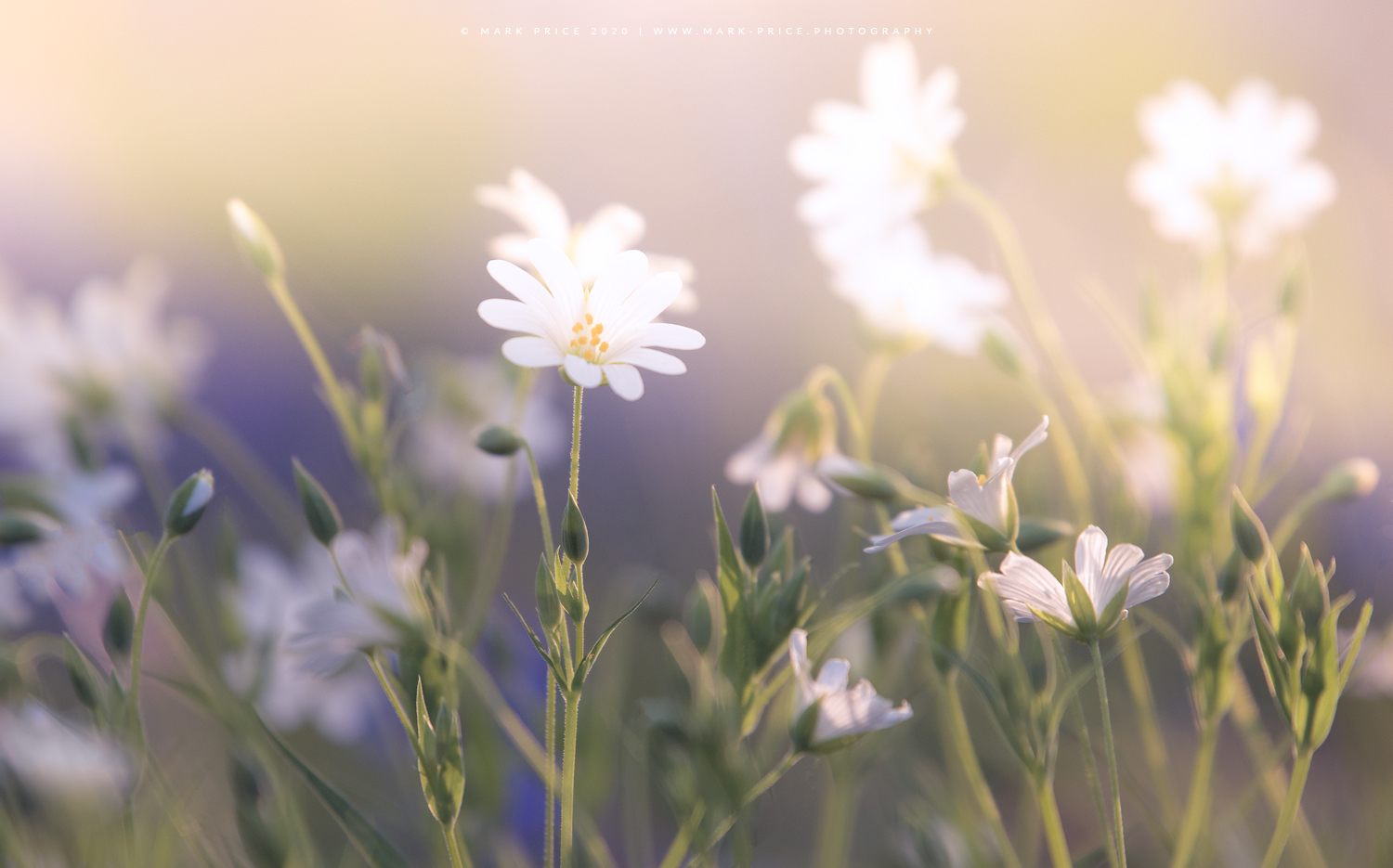 Late afternoon dreamy light in a Sussex field of spring flowers