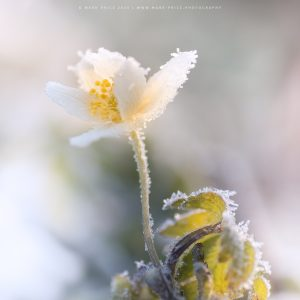 Early spring frost covering a wildflower