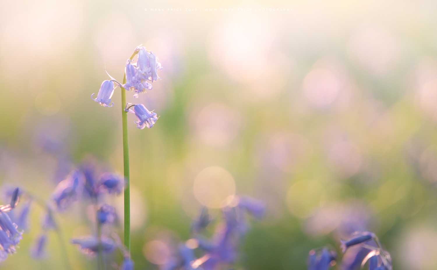 A lone bluebell stands out in a spring lit field
