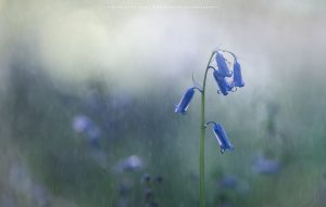 A single Bluebell withstands a shower..
