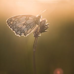 A Butterfly roosts in the warm early morning light of sunrise