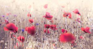 The Poppy fields of England in full bloom
