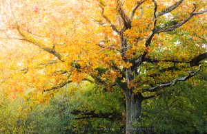 An ancient tree in a Sussex forest at the peak of autumn