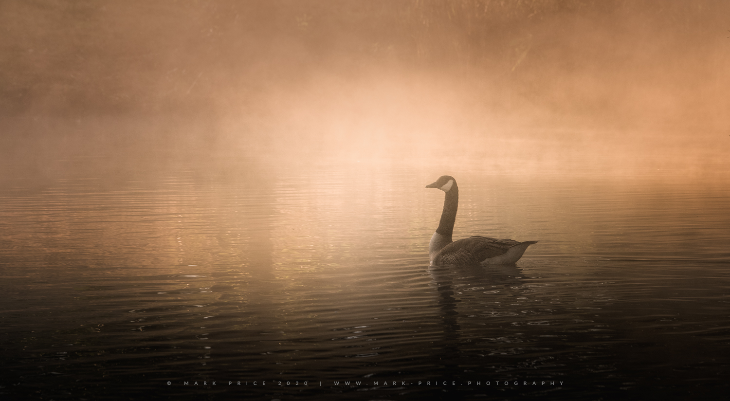A beautiful bird glides across the water of a Sussex Lake