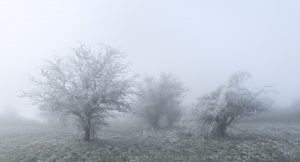 Hawthorn Trees frozen in a severe Hoar frost in Sussex, Winter 2021