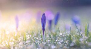 Vivid Crocus flowers signal Winter into Spring