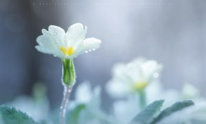 The delicate details of a Primrose plant as spring emerges