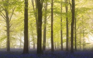 Bluebells and fog in a Dorset forest