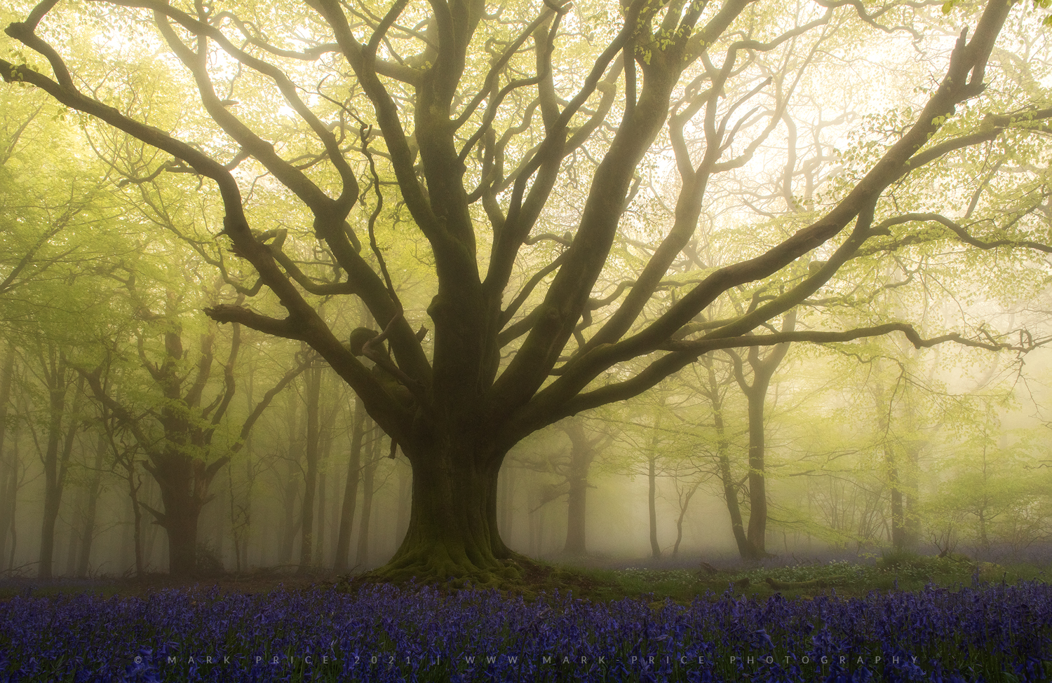 An ethereal experience in a South West forest for a foggy sunrise