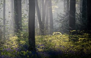 Beautiful bluebells and spring fauna combined with morning fog in a forest.