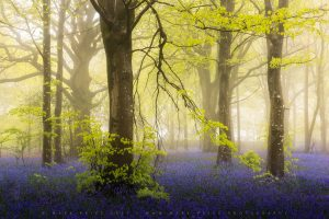 The height of Bluebell season in South West England