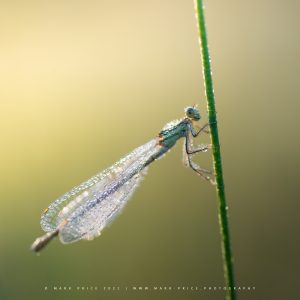 Early morning humidity creating crystal like drops on this Damselfly