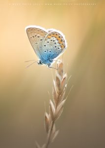A close up of a beautiful butterfly roosting in the early evening light