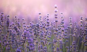 Beautiful Lavender plants lit up by first light in Somerset