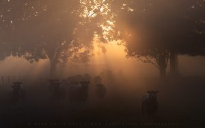 A flock of sheep in the South Downs Park as beautiful light explodes behind them.